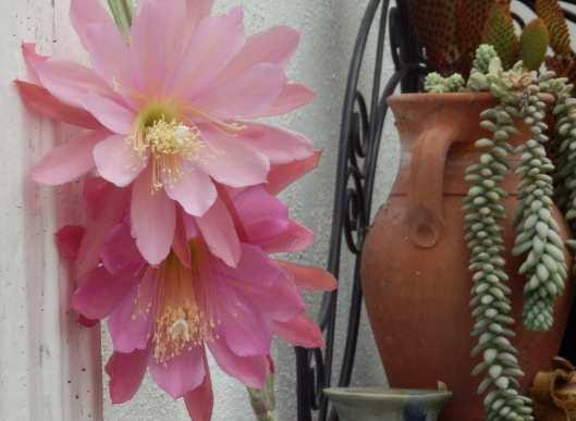 Epiphyllum (orchid cactus)