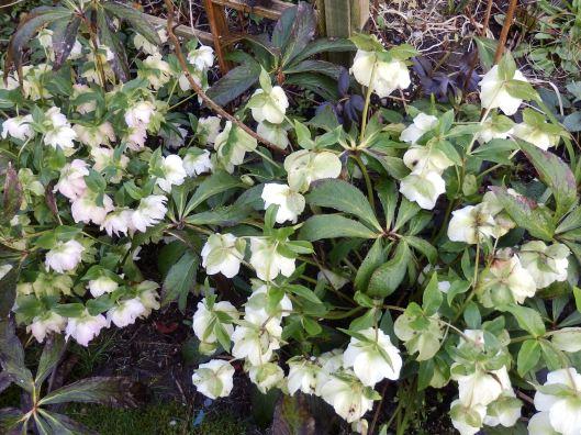 Helleborus 'White Beauty' (Lenten roses)