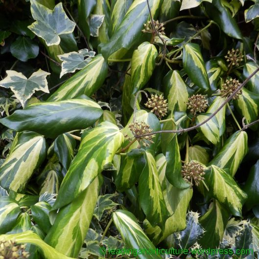 "Hedera colchica ""Sulphur heart"" (Persian ivy)"
