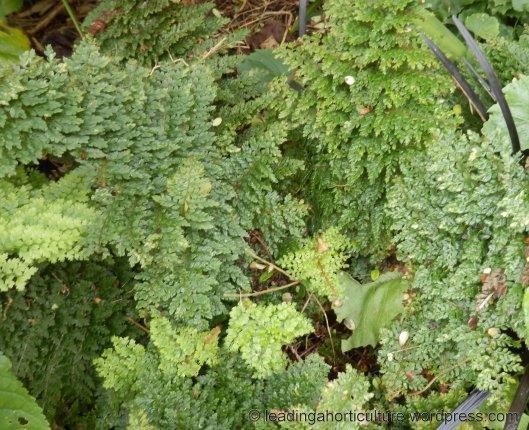 """Polystichum setiferum """"Divisilobum Densum"""" (soft shield fern)"""