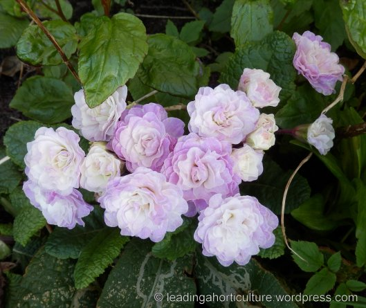 "Primula vulgaris Belarina™ ""Pink Ice"""