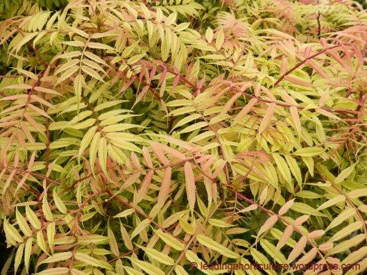 Sorbaria sorbifolia (false spirea), highly invasive